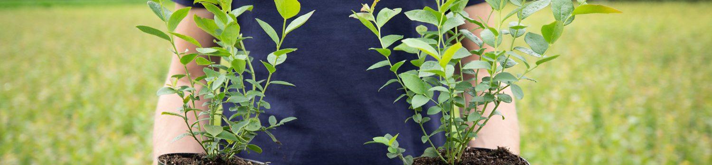 Vaccinium plants